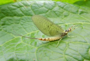 Mayfly Maifliege Ephmera danica