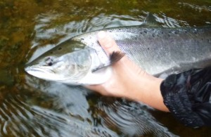 Releasing Lachs 61 cm